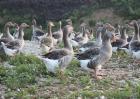 早春养鹅的注意事项