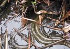 黄鳝养殖五种饲料