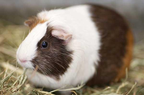 荷兰猪能长多大
