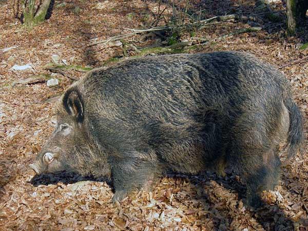 特种野猪提纯复壮方法