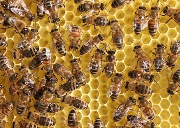 蜜蜂安全越冬的技术