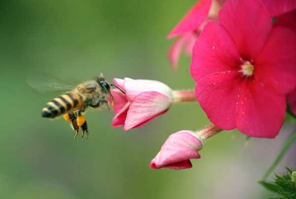 盗蜂的起因和防治