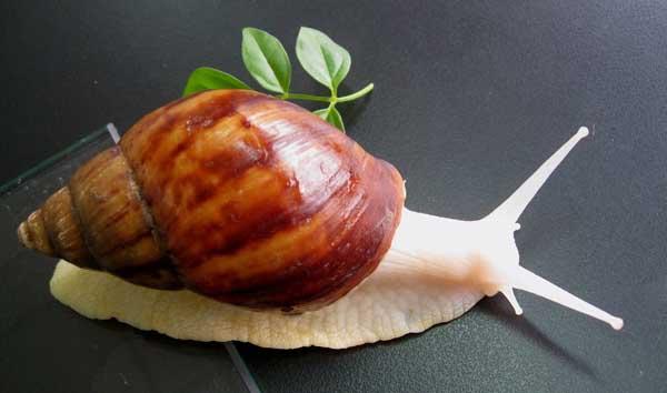 白玉蜗牛饲养水和饲料选择