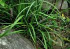 麦冬的功效与作用及禁忌