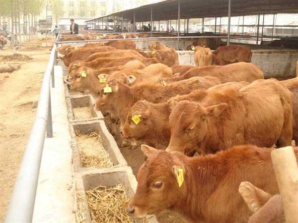 科学养牛技术