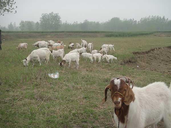 养羊的利润与成本预算