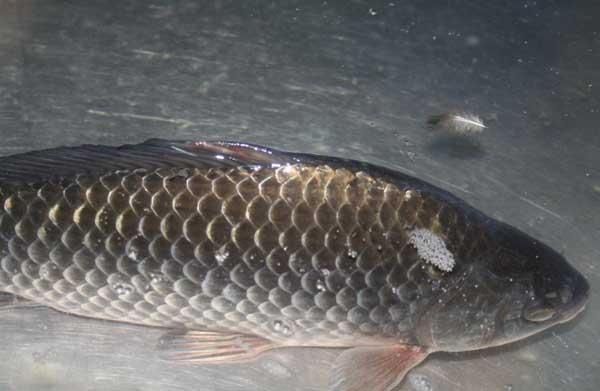 野生鲫鱼和饲养鲫鱼的区别