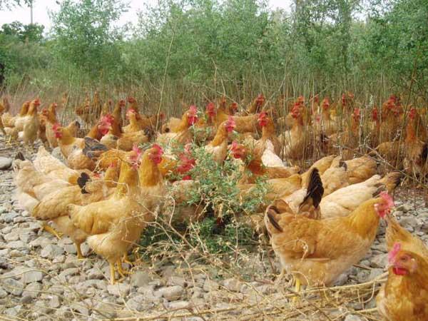 土鸡养殖成本计算