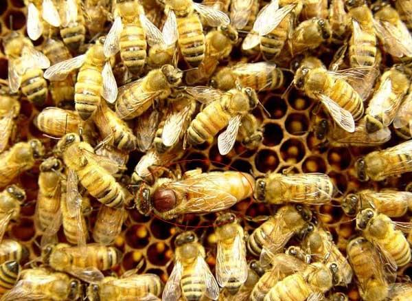 蜜蜂生产蜂王的培育技术