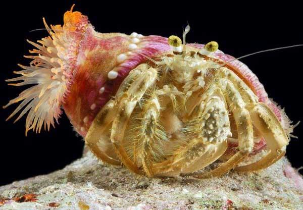 寄居蟹怎么养