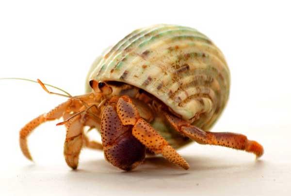 寄居蟹吃什么?