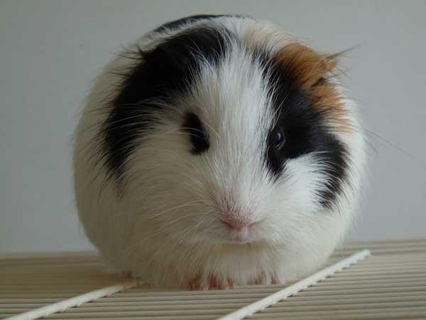 荷兰猪叫声所代表的含义