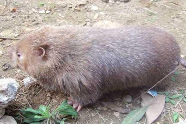 竹鼠有哪些养殖条件?