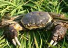 湖泊养殖河蟹如何防止外逃