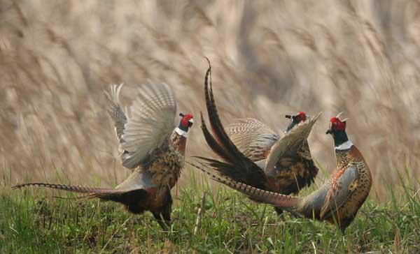 七彩山鸡反季节繁殖方法