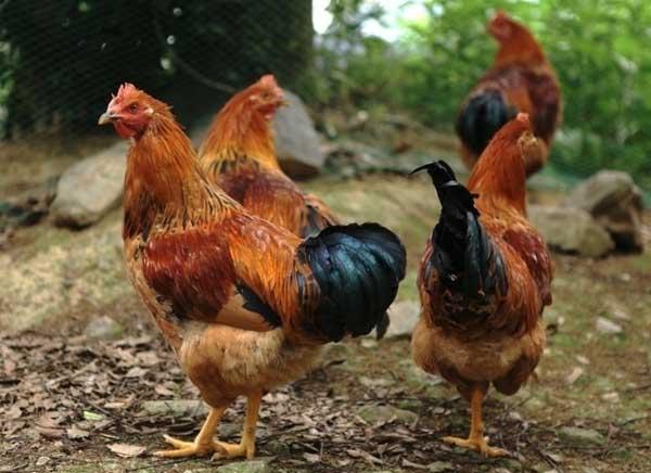 2015年养鸡赚钱吗?
