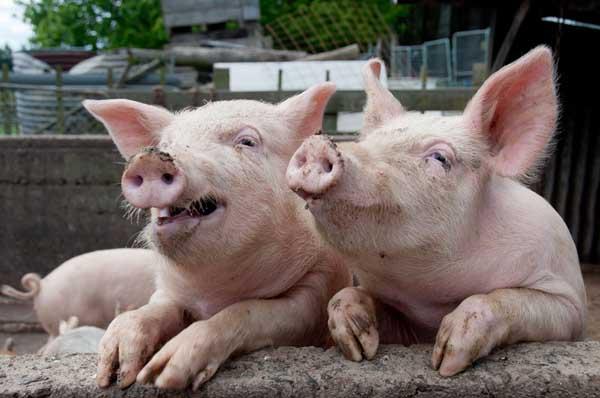 猪钩端螺旋体病的防治方法