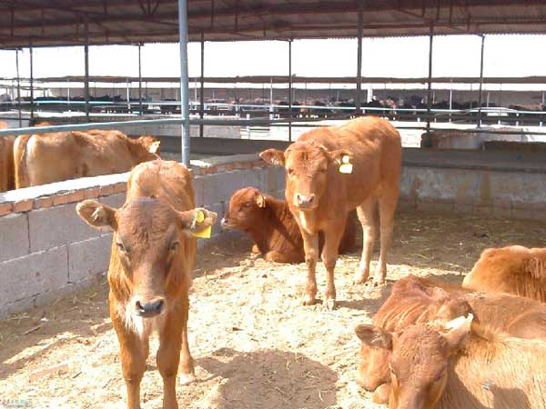 养牛省草的方法措施