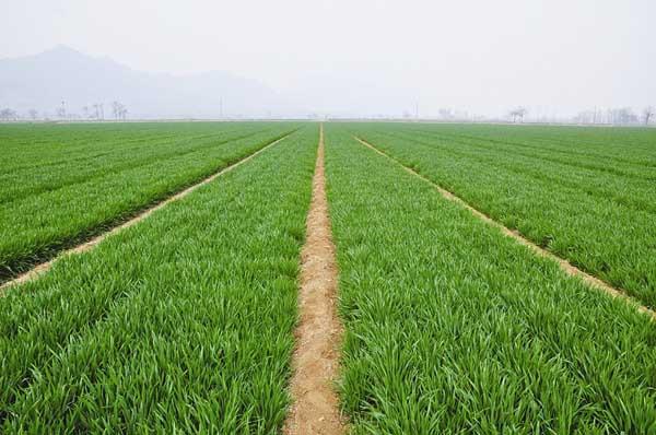 我国春小麦和冬小麦的区别