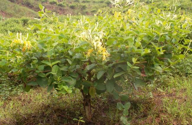 樹形金銀花的種植技術