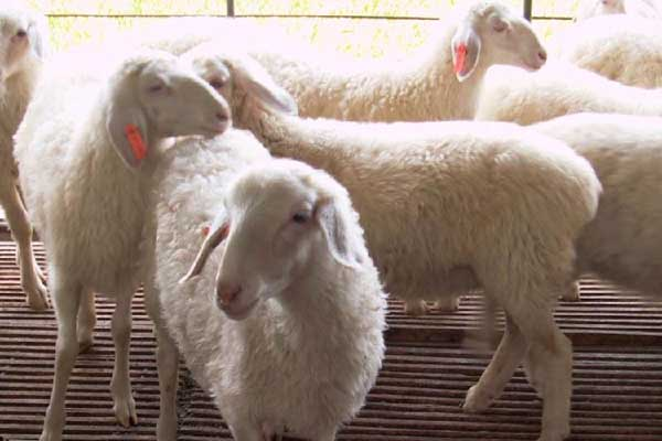小尾寒羊一年产几窝羊羔?