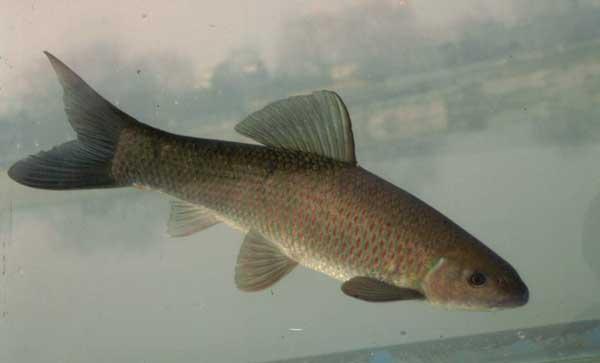 青鱼和草鱼的区别有哪些?