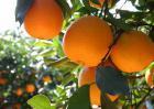 柑橘黄叶病防治技术