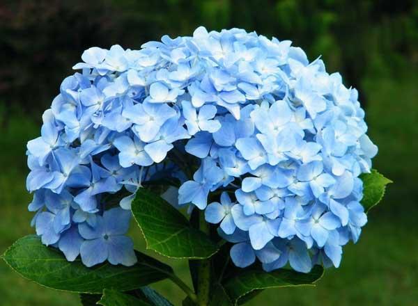 绣球花的花语是什么?