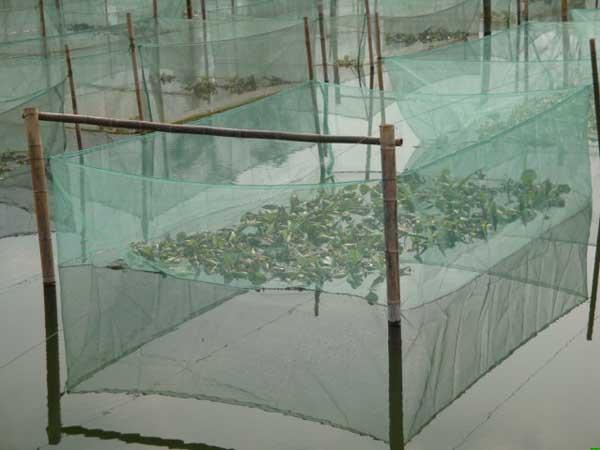 黄鳝网箱养殖技术