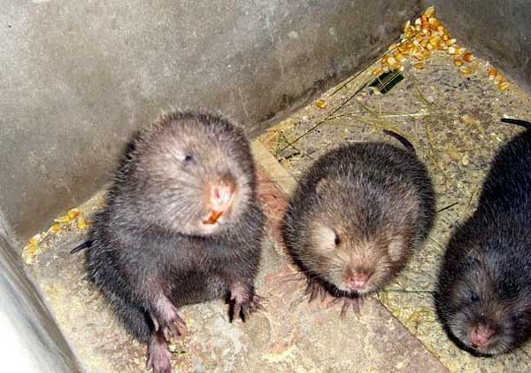 新手养殖竹鼠的注意事项