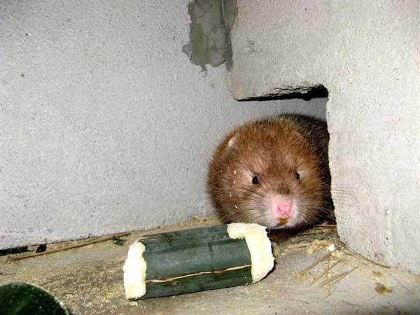 养殖竹鼠有前途吗?