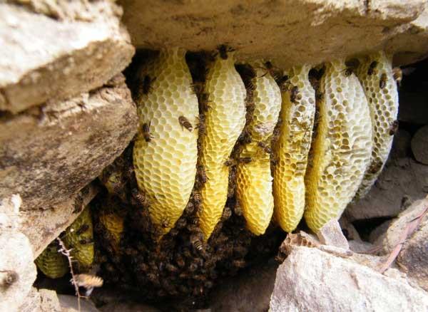 如何寻找野生蜜蜂窝