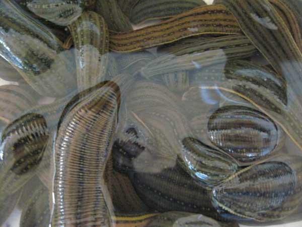 水蛭的养殖前景