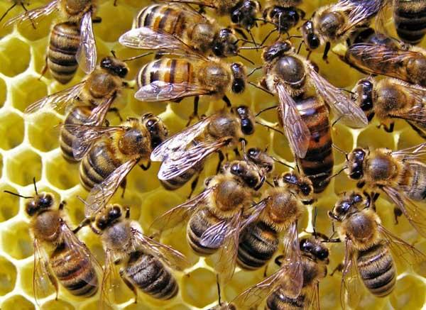 蜜蜂副伤寒病的治疗