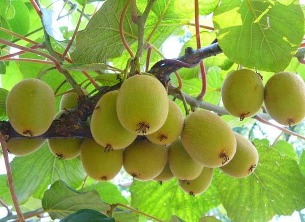 猕猴桃种植技术