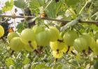灯笼果的功效与作用及食用方法