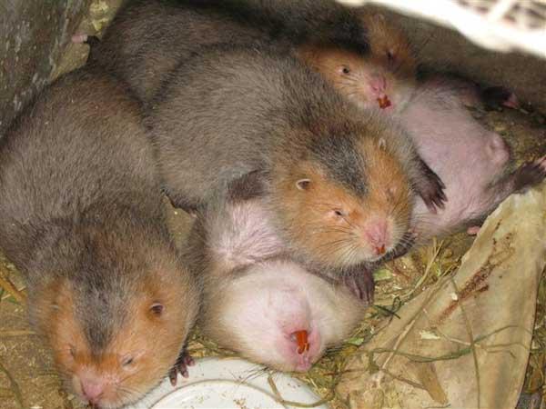 竹鼠日常营养物质有哪些?