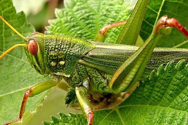 蝗虫能吃吗?