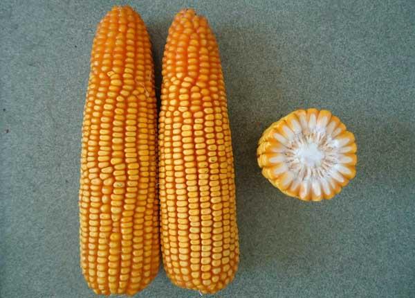 高产的玉米种子品种主要有哪些?