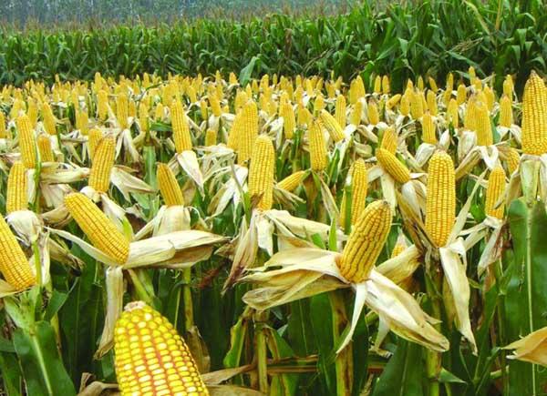 影响玉米收成的因素及处理措施