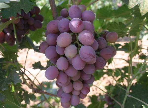 葡萄的种植前景