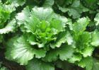 大白菜栽培技术