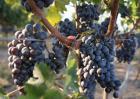 葡萄栽培技术