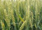 中国小麦种植区域划分及不同区域的种植条件