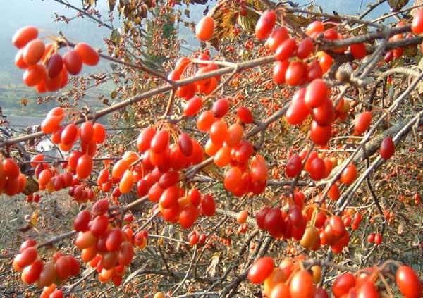 山茱萸栽培技术