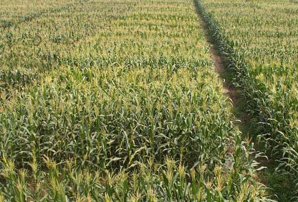 玉米病虫害防治技术