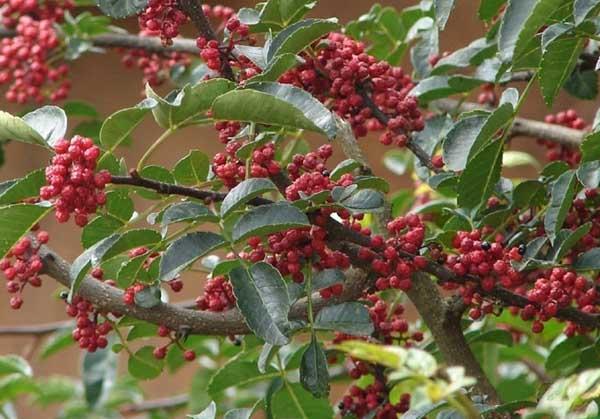 花椒树栽培技术