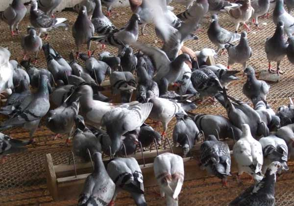 鸽子养殖大棚的设计