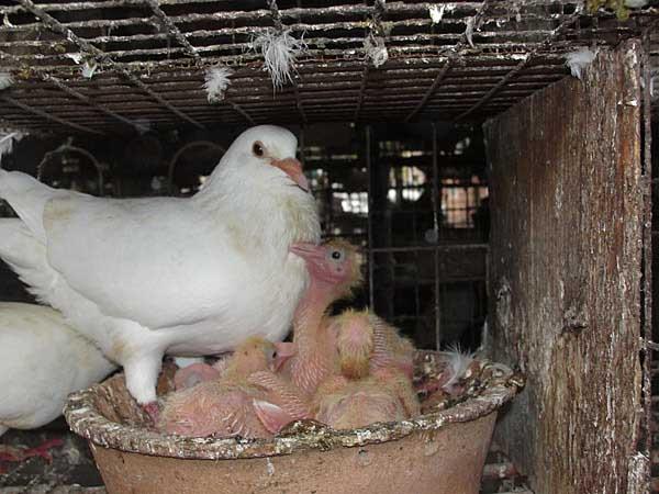 肉鸽养殖技术及视频教程