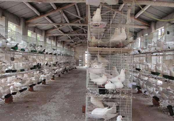 鸽子养殖技术_肉鸽养殖技术及视频教程(3)